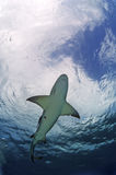 Lemon Shark. A lemon shark swimming over head Royalty Free Stock Photo