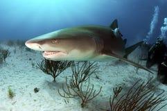 Lemon Shark. A lemon shark swimming over a sandy ocean bottom Royalty Free Stock Photo