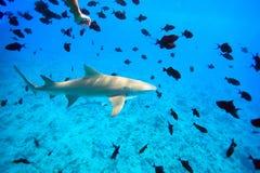 Lemon shark. Swims through fish in Pacific ocean Royalty Free Stock Photography