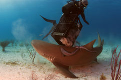 Lemon Shark. A lemon shark trying to get to the bait that is in the crate Stock Image