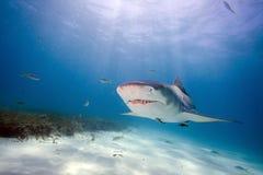 Lemon shark. Underwater close up portrait Stock Photography