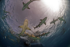 Lemon Sharks Royalty Free Stock Photos
