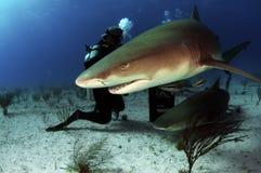 Lemon Sharks. A pair of lemon sharks in the Bahamas Stock Photos