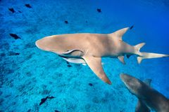Lemon sharks Royalty Free Stock Images