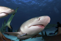 Lemon Sharks Royalty Free Stock Photography