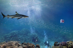 Lemon Sharks and Scuba Diver. Red Sea Royalty Free Stock Photography