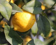 Lemon from Sicily hanging from a tree Stock Images