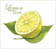 Lemon sketches. Stock Image