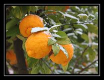 Lemon in snow. Snow in Vereeniging, South Africa stock photography