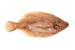 Lemon sole fish. Side view of lemon sole fish isolated on white background Stock Image