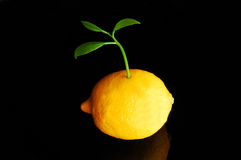 Lemon sprout. Young sprout growing out of a lemon royalty free stock photography