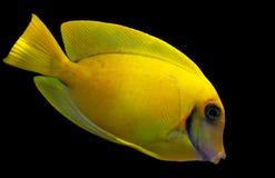 Lemon Tang aka Chocolate tang Acanthurus pyroferus. The Mimic Lemon Peel Tang, also known as the Mimic Surgeon, or Chocolate Surgeonfish, has an oval, yellow royalty free stock photography