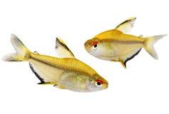 Lemon tetra Hyphessobrycon pulchripinnis tropical freshwater aquarium fish. Fish Royalty Free Stock Photo
