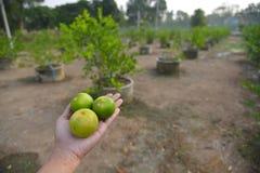 Lemon thai tree Stock Photos