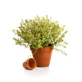 Lemon Thyme Royalty Free Stock Images