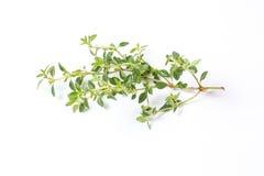Lemon Thyme Herb Stock Photo