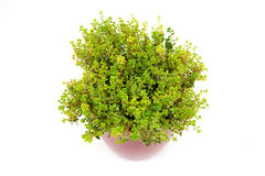 Lemon Thyme herb in pot. Isolated on white stock photo
