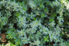 Lemon thyme leaves from the herb garden. Thymus citriodorus or lemon thyme or Citrus thyme royalty free stock images