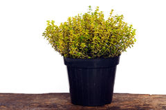 Lemon thyme Stock Photo