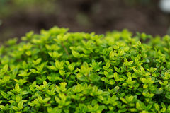 Lemon Thyme spice in the garden. Lemon Yellow Thyme spice in the garden Royalty Free Stock Photo