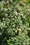 Lemon thyme (Thymus citriodorus) Stock Photography