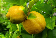 Lemon on tree Royalty Free Stock Images