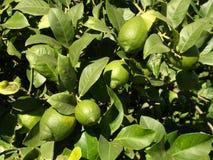 Lemon tree. Green lemons hanging from a lemon tree stock photo