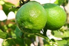 Lemon tree royalty free stock image