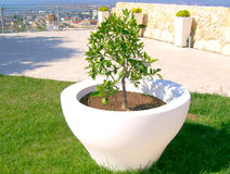 Lemon tree. Young lemon tree in a white pot in Cagliari, Italy stock photography