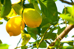 Lemon tree. Royalty Free Stock Photo