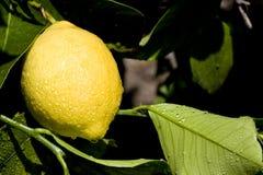 Lemon on Tree Royalty Free Stock Photos