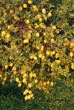 Lemon tree. Full of fruits Stock Photos