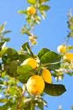 Lemon tree. Beautiful ripe lemons in the tree in a sunny day Royalty Free Stock Images
