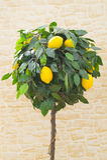Lemon tree. Laden lemon tree in front of stone background stock photography