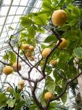 Lemon tree. Full of lemons in greenhouse stock photo