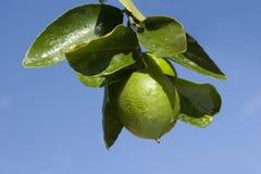Lemon tree. Branch of lemon tree over blue sky stock images