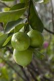 Lemon tree. Three lemons on a tree royalty free stock images