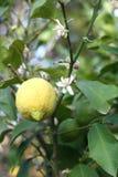 Lemon tree. Close up of a yellow lemon, lemon flower and green lemons on a lemon tree stock photos