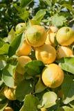 Lemon tree. Branch loaded with fresh fruit stock photos