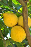 Lemon tree. Big lemon in south of Italy Stock Images