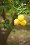 Lemon tree. A lemon tree loaded with ripe fruit royalty free stock photo