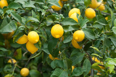 Lemon tree. A lemon tree loaded with ripe fruit stock photo