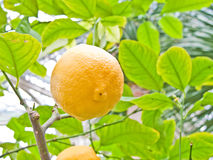Lemon in a tree Royalty Free Stock Photo
