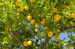 Lemon tree. Plump, ripe, juicy lemons ready for harvest in a lemon tree Stock Photos