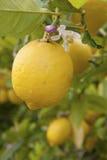 Lemon tree Stock Photos