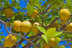 Lemon tree. With mellow fruits in italy Royalty Free Stock Photos
