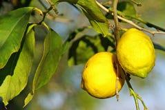 Free Lemon Tree Stock Images - 22060424