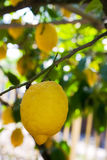 Lemon tree. Lemon hanging on a tree in Sorrento, Italy Royalty Free Stock Photography