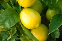 Lemon tree. Ripening Lemons on a lemon tree stock photo