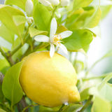 Lemon tree. With fruit and flower stock photos